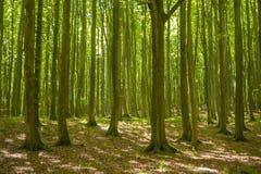 Foresta del faggio nel parco nazionale di Jasmund vicino a Sassnitz fotografie stock