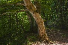 Foresta del faggio nel parco nazionale di Jasmund vicino a Sassnitz fotografia stock libera da diritti