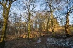Foresta del faggio nell'inverno Fotografie Stock