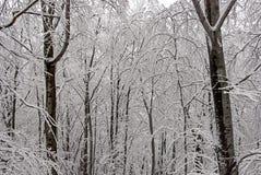 Foresta del faggio nell'inverno 3 Immagini Stock