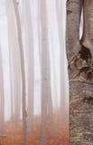 Foresta del faggio nella nebbia immagini stock libere da diritti