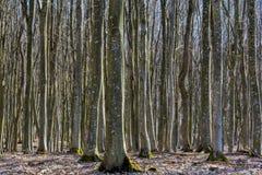 Foresta del faggio senza foglie in molla in anticipo in montagne carpatiche Immagine Stock Libera da Diritti