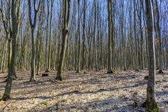 Foresta del faggio senza foglie in molla in anticipo in montagne carpatiche Fotografia Stock