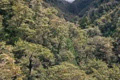 Foresta del faggio del sud in alpi del sud Fotografie Stock Libere da Diritti