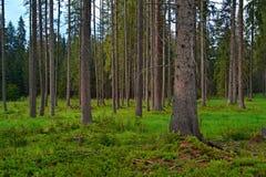Foresta del fondo Fotografie Stock Libere da Diritti