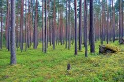 Foresta del fondo dei pini Fotografia Stock