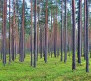 Foresta del fondo dei pini Immagine Stock Libera da Diritti