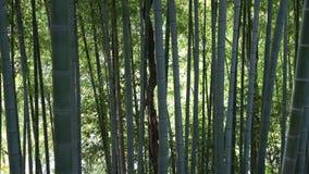 Foresta del germoglio del germoglio di bambù o del bambù e del bambù archivi video