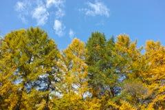 Foresta del larice di Dahurian Fotografia Stock