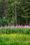 Foresta del larice e degli alberi attillati con il willowherb di oleandro Bayard Plateau, alpi, Francia Immagini Stock Libere da Diritti