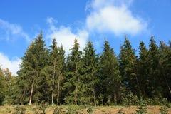 Foresta del paesaggio del pino Immagine Stock