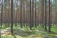 Foresta del pino Immagini Stock Libere da Diritti