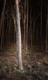 Foresta del pino Immagini Stock