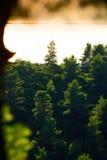Foresta del pino Immagine Stock