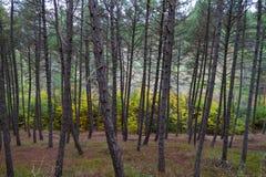 Foresta del pino in autunno Fotografie Stock