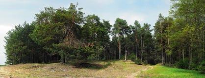 Foresta del pino con il prato della sabbia Fotografia Stock