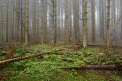 Foresta del pino con nebbia Fotografia Stock Libera da Diritti