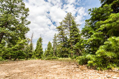 Foresta del pino con suolo asciutto a Bryce Canyon Fotografie Stock