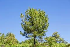 Foresta del pino contro cielo blu, Tailandia Fotografie Stock