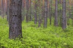 Foresta del pino della sorgente Fotografie Stock