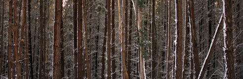 Foresta del pino dello Snowy Fotografie Stock Libere da Diritti