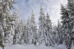 Foresta del pino dello Snowy Immagini Stock Libere da Diritti