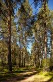 Foresta del pino di Altai Immagine Stock