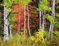 Foresta del pino, di Aspen e dei pini nella caduta Immagini Stock
