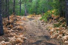 Foresta del pino di autunno Immagini Stock