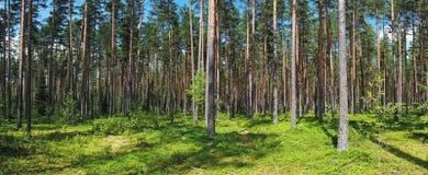 Foresta del pino di estate Fotografie Stock Libere da Diritti