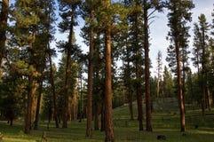 Foresta del pino di Ponderosa Fotografia Stock Libera da Diritti