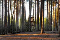 Foresta del pino a fare un'escursione zona Immagine Stock Libera da Diritti