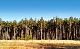 Foresta del pino sotto cielo blu profondo Immagini Stock