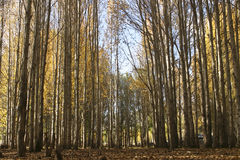 Foresta del pioppo Immagini Stock
