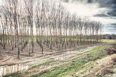 Foresta del pioppo Fotografia Stock Libera da Diritti
