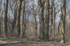 foresta del Quercia-carpino in molla in anticipo Fotografia Stock Libera da Diritti