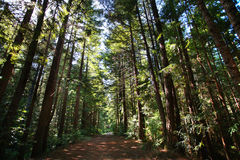 Foresta del Redwood Fotografia Stock