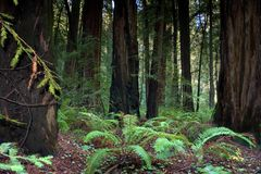 Foresta del Redwood, California Immagini Stock