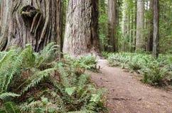 Foresta del Redwood della California Fotografia Stock Libera da Diritti