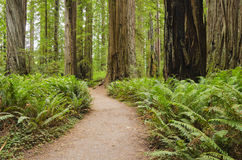 Foresta del Redwood di California Fotografie Stock Libere da Diritti
