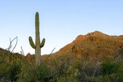 Foresta del saguaro Immagini Stock
