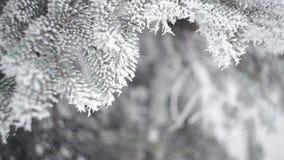 Foresta dell'abete di inverno con gli alberi di Natale nevosi Abeti innevati un giorno di inverno Priorità bassa di inverno La ne stock footage