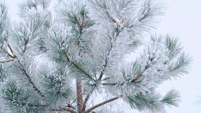 Foresta dell'abete di inverno con gli alberi di Natale nevosi Primo piano dei rami con neve video d archivio