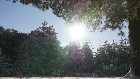 Foresta dell'abete di inverno nella neve al sole stock footage