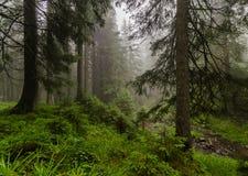 Foresta dell'abete vicino alla montagna di Goverla Fotografia Stock Libera da Diritti