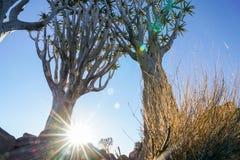Foresta dell'albero del fremito della Namibia Fotografie Stock