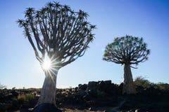 Foresta dell'albero del fremito della Namibia con il chiarore della lente Fotografie Stock Libere da Diritti