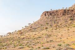 Foresta dell'albero del fremito a Gannabos vicino a Nieuwoudtville Fotografia Stock