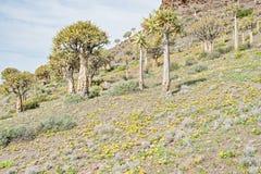 Foresta dell'albero del fremito a Gannabos vicino a Nieuwoudtville Immagine Stock