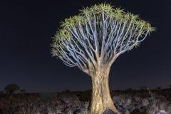 Foresta dell'albero del fremito - Nambia Fotografia Stock